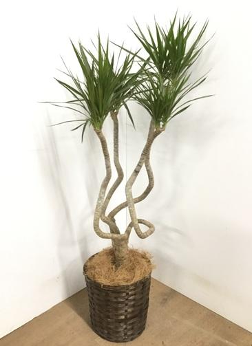 観葉植物 【120cm】ドラセナ コンシンネ 7号 #22860