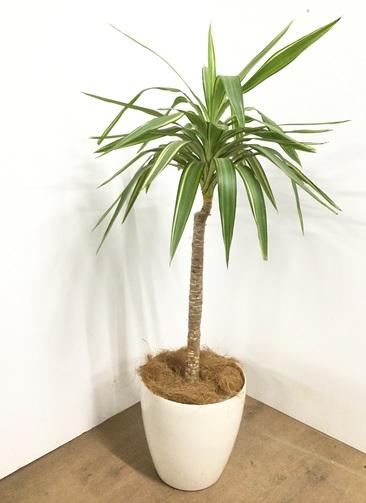 観葉植物 【140cm】ユッカ 8号 斑入り #22862