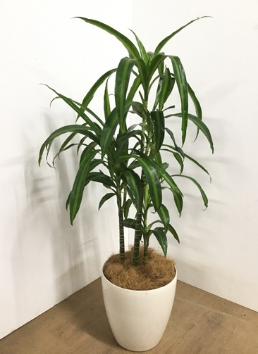 観葉植物 【120cm】ドラセナ・ハワイアンサンシャイン 8号 #22863