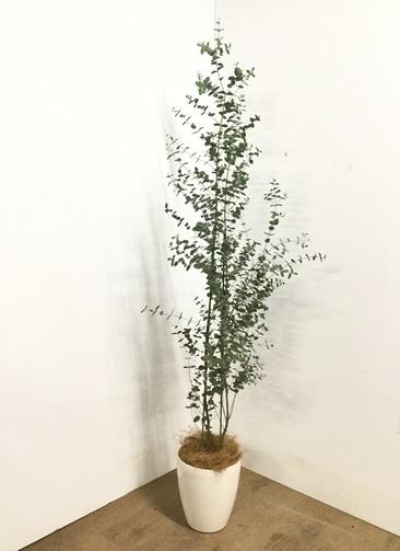 観葉植物 【165cm】ユーカリ 6号 グニー #22864