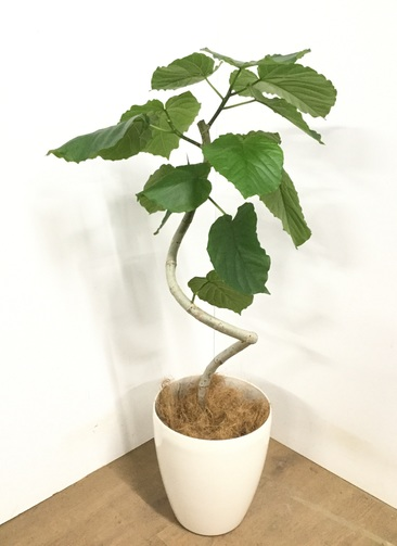 観葉植物 【100cm】フィカス ウンベラータ 7号 #22867