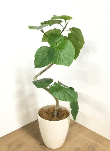 観葉植物 【100cm】フィカス ウンベラータ 7号 #22869