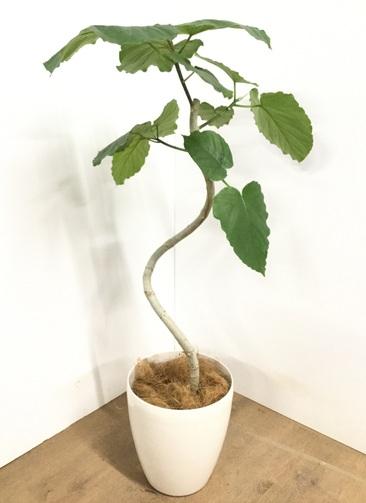 観葉植物 【110cm】フィカス ウンベラータ 7号 #22870