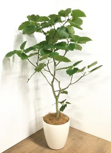 観葉植物 【170cm】フィカス ウンベラータ 10号 #22871A