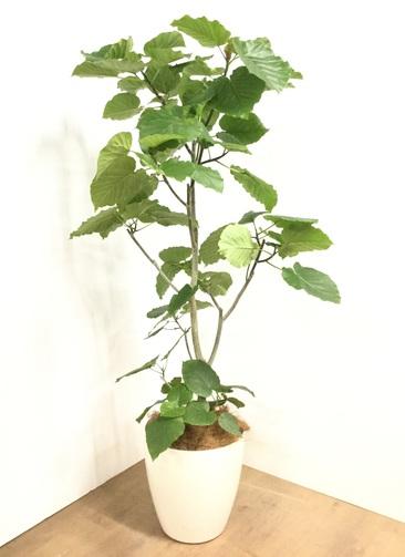 観葉植物 【170cm】フィカス ウンベラータ 10号 #22872B