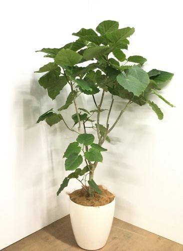 観葉植物 【170cm】フィカス ウンベラータ 10号 #22873C