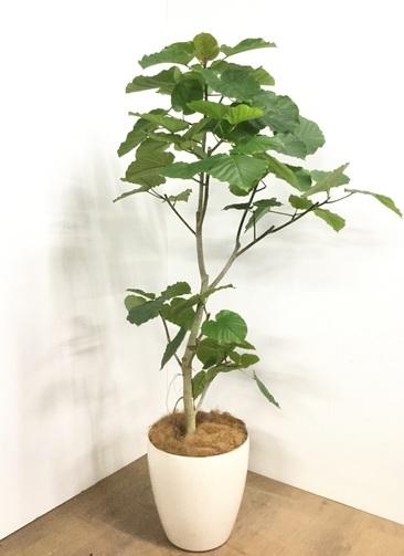 観葉植物 【170cm】フィカス ウンベラータ 10号 #22874D