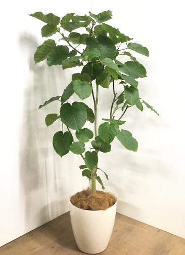 観葉植物 【175cm】フィカス ウンベラータ 10号 #22875E