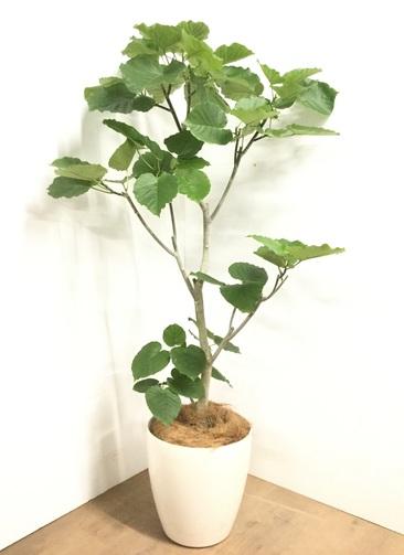 観葉植物 【175cm】フィカス ウンベラータ 10号 #22876F