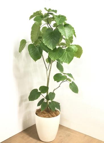観葉植物 【175cm】フィカス ウンベラータ 10号 #22877G