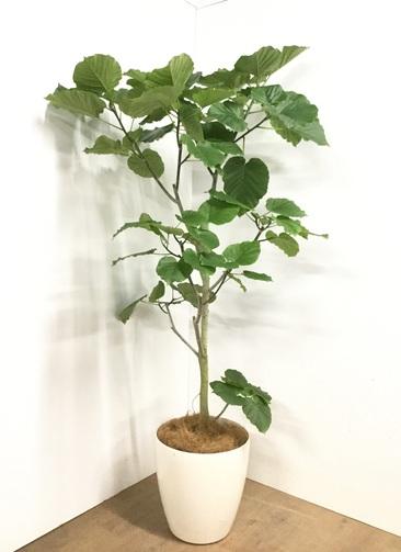 観葉植物 【175cm】フィカス ウンベラータ 10号 #22878H