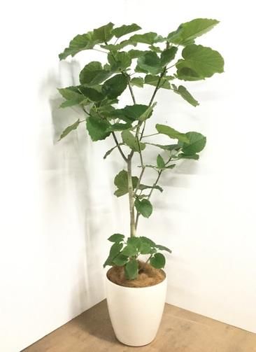 観葉植物 【170cm】フィカス ウンベラータ 10号 #22879I