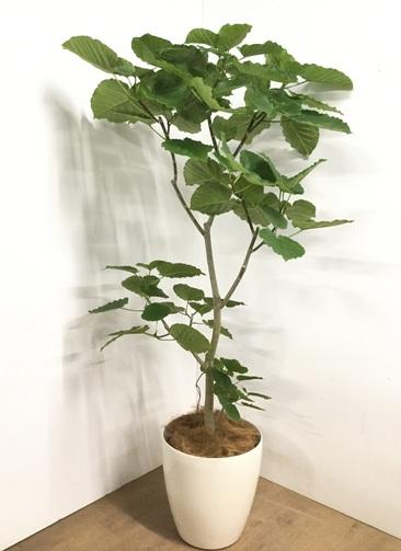 観葉植物 【175cm】フィカス ウンベラータ 10号 #22880J