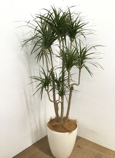 観葉植物 【140cm】 ドラセナ コンシンネ 8号 #22884