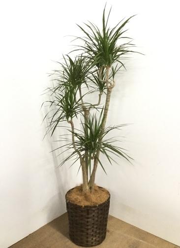 観葉植物 【150cm】 ドラセナ コンシンネ 8号 #22885