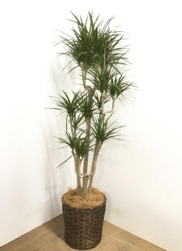 観葉植物 【155cm】 ドラセナ コンシンネ 8号 #22886
