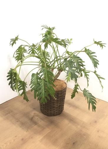 観葉植物 【90cm】クッカバラ  8号 #22896
