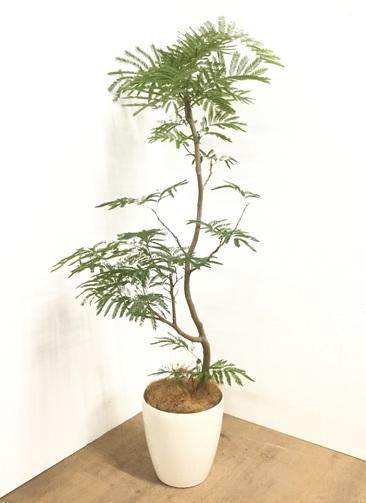 観葉植物 【160cm】 エバーフレッシュ 8号 #22899