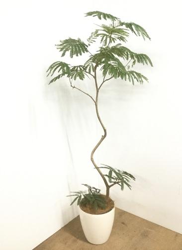 観葉植物 【170cm】 エバーフレッシュ 8号 #22900