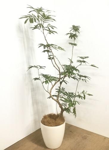 観葉植物 【160cm】 エバーフレッシュ 8号 #22901