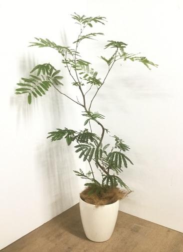 観葉植物 【160cm】 エバーフレッシュ 8号 #22902