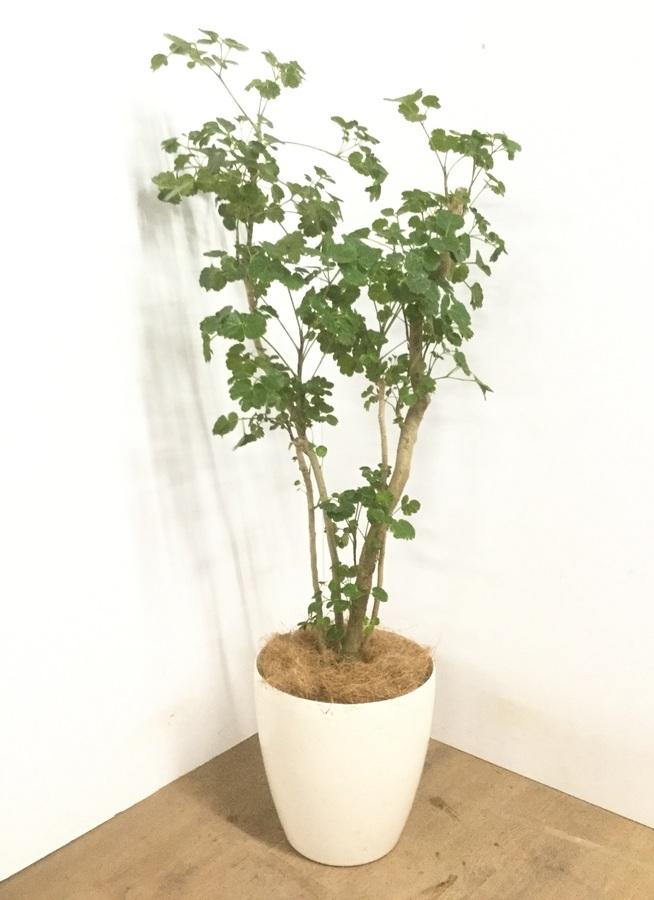 観葉植物 【130cm】 ポリシャス 8号 #22904