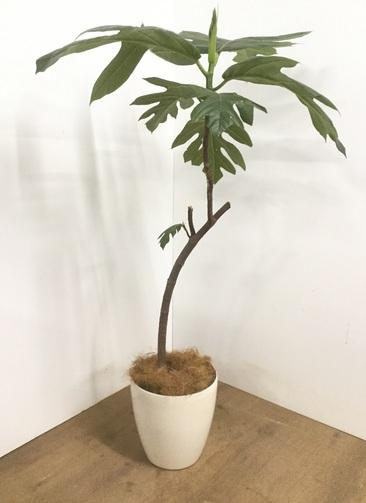 観葉植物 【145cm】 パンノキ 8号 #22905