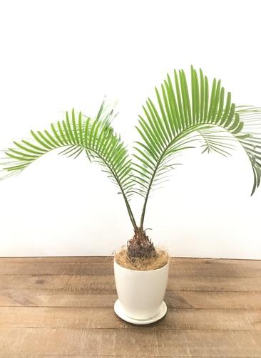 観葉植物 【50cm】 ソテツ 4号 #22911
