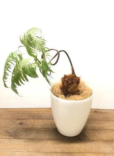 観葉植物 【55cm】ゴールデンモンキー(タカワラビ)  6号 #22917