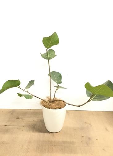 観葉植物 【70cm】シーグレープ 5号 曲り #22919