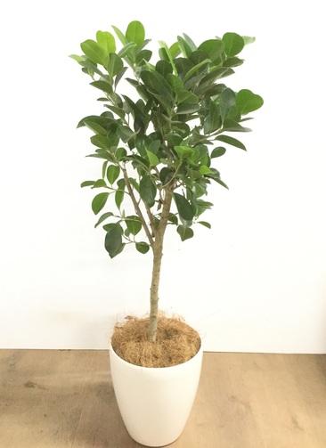 観葉植物 【95cm】 パンダガジュマル 6号 #22920