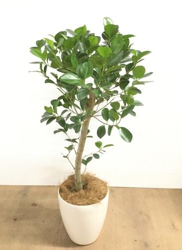 観葉植物 【95cm】 パンダガジュマル 6号 #22921