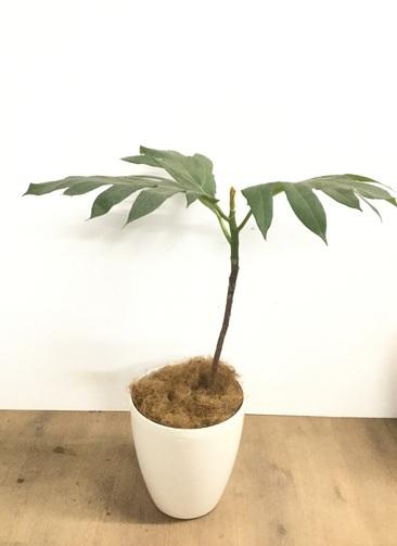 観葉植物 【95cm】 パンノキ 7号 #22922