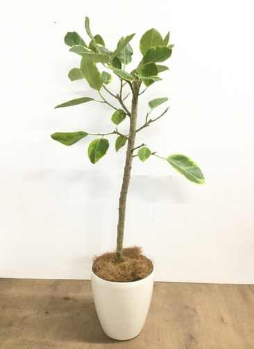 観葉植物 【120cm】 フィカス アルテシーマ 7号 #22923