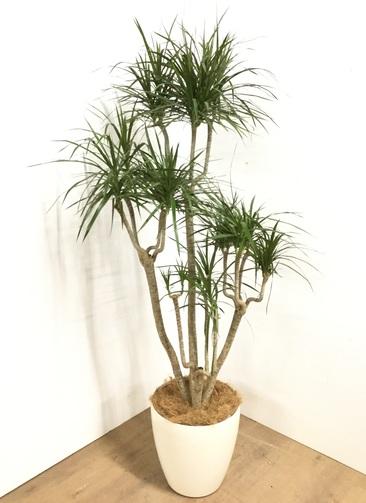 観葉植物 【180cm】 ドラセナ コンシンネ 10号 #22925 ※1都3県配送限定商品