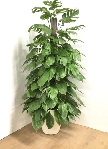 観葉植物 【175cm】マングーカズラ 10号 #22926