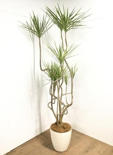 観葉植物 【230cm】 コンシンネ ホワイポリー 10号 #22928 ※1都3県配送限定商品