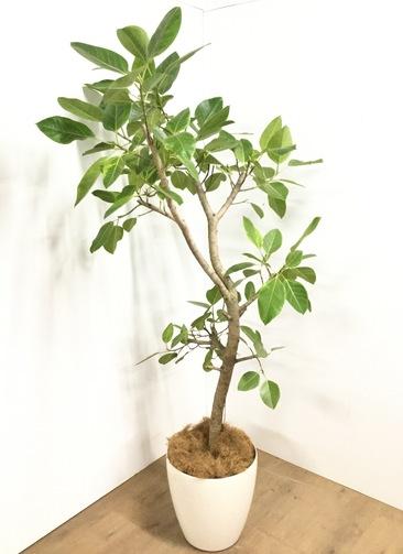観葉植物 【190cm】 フィカス アルテシーマ 10号 #22929 ※1都3県配送限定商品