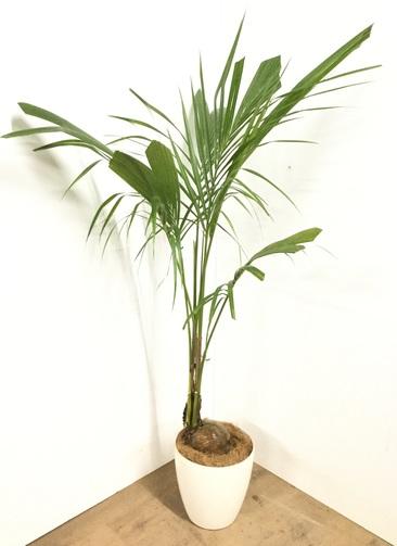 観葉植物 【160cm】 ココヤシ 8号 #22930