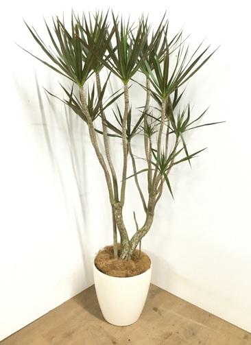 観葉植物 【150cm】ドラセナ コンシンネ マゼンタ 8号 #22931
