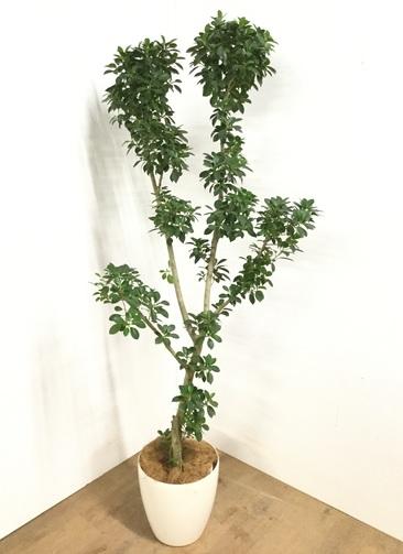 観葉植物 【1都3県 限定配送】 【180cm】 フィカス ナナ 8号 #22932