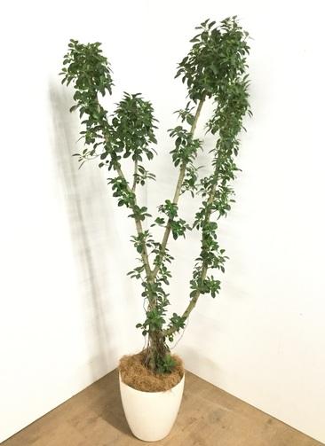 観葉植物 【175cm】 フィカス ナナ 8号 #22933