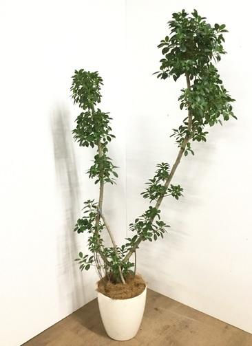 観葉植物 【1都3県 限定配送】 【175cm】 フィカス ナナ 8号 #22934
