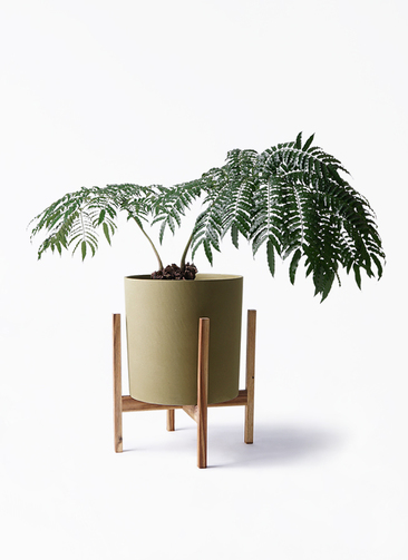 観葉植物 リュウビンタイ 8号 ホルスト シリンダー オリーブ ウッドポットスタンド付き