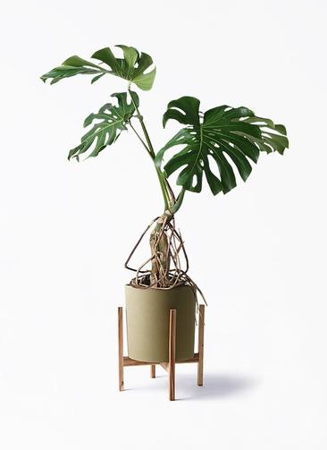 観葉植物 モンステラ 8号 根上り ホルスト シリンダー オリーブ ウッドポットスタンド付き