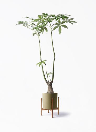 観葉植物 パキラ 8号 パラソル ホルスト シリンダー オリーブ ウッドポットスタンド付き