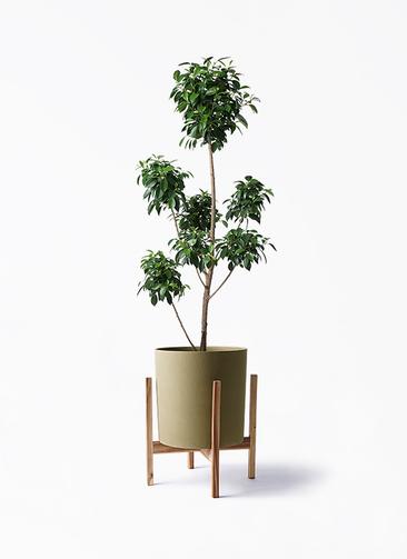 観葉植物 フィカス ナナ 7号 ボサチラシ ホルスト シリンダー オリーブ ウッドポットスタンド付き