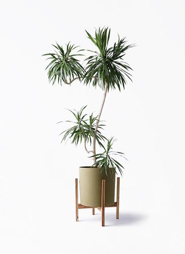 観葉植物 ドラセナ ナビー 8号 L字 ホルスト シリンダー オリーブ ウッドポットスタンド付き