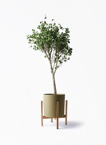 観葉植物 フィカス ベンジャミン 8号 シタシオン ホルスト シリンダー オリーブ ウッドポットスタンド付き