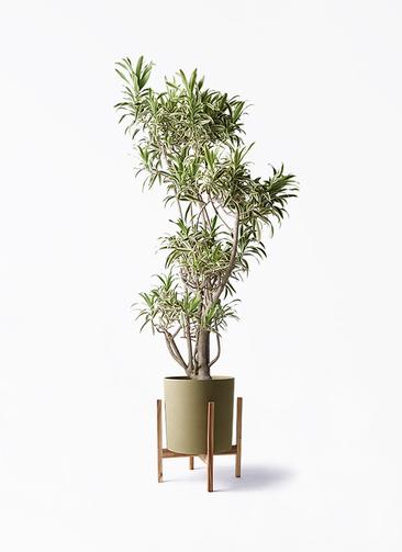 観葉植物 ドラセナ ソング オブ インディア 8号 ホルスト シリンダー オリーブ ウッドポットスタンド付き